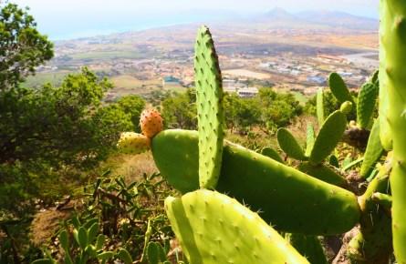 Kaktus auf der portugiesischen insel Porto Santo