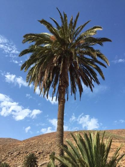 Palme Nahaufnahme Palmental Fuerteventura