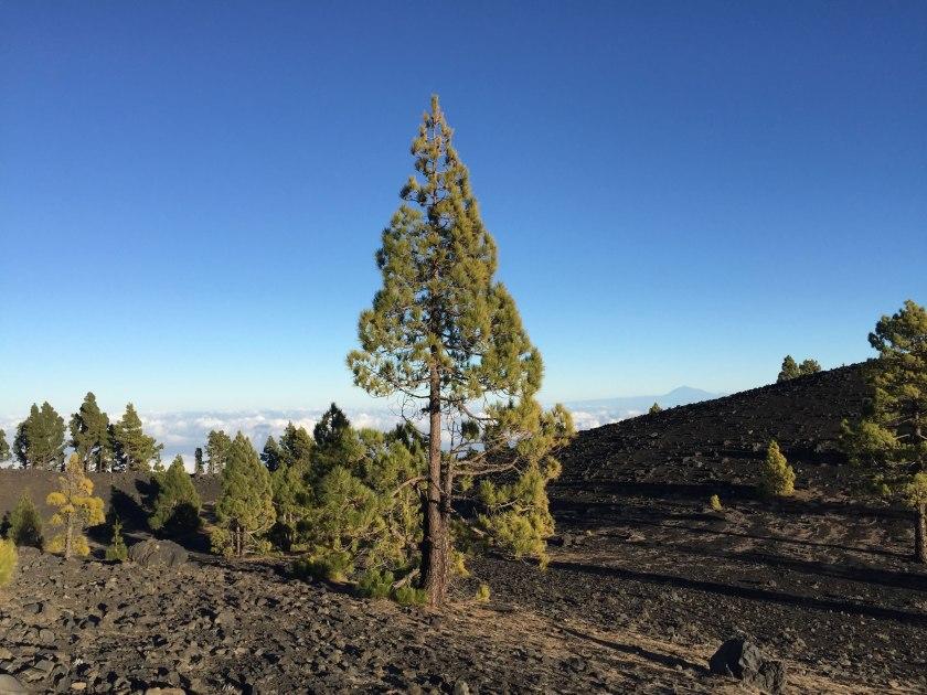 Kanarenkiefer La Palma Vulkanwanderung