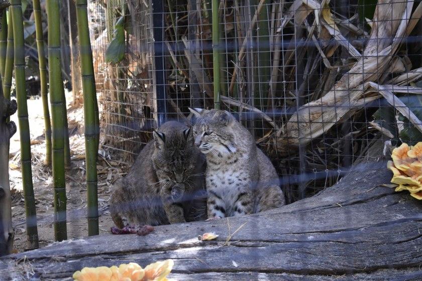Wildkatzen Zoo Lagos