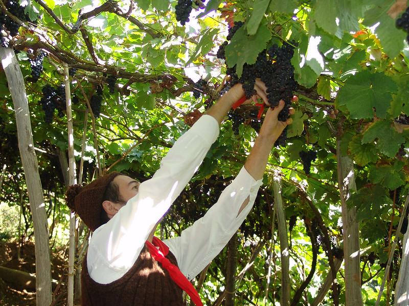 Traditionelle Traubenlese Madeira