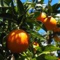 Spanien Valencia Orangen