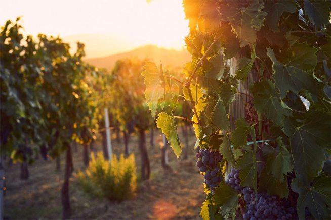 Italien Weinreben