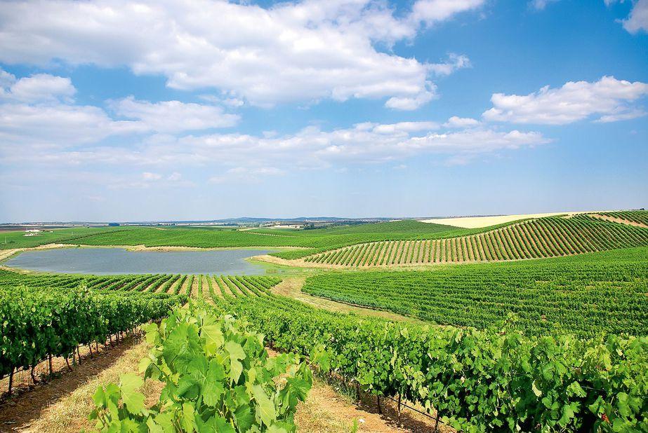 Weinreben Portugal