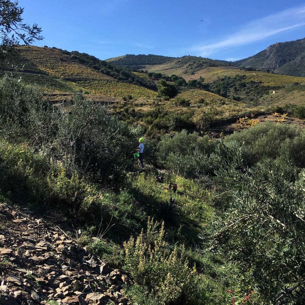 Cueillette d'olives Courbeil sur les hauteurs de Banyuls