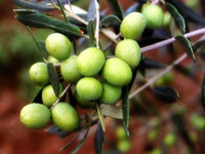 Olio extravergine d'oliva biologico Fanciulli - Tipo di cultivar: Grappolo