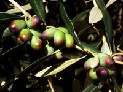 Olio extravergine d'oliva biologico Fanciulli - Tipo di cultivar: Leccino
