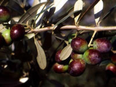 Olio extravergine d'oliva biologico Fanciulli - Tipo di cultivar: Moraiolo
