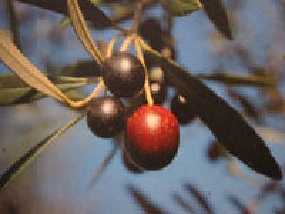 Olio extravergine d'oliva biologico Fanciulli - Tipo di cultivar: Olivastra Seggianese