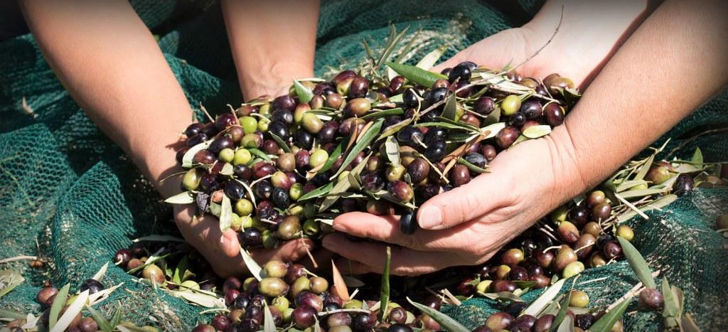 olive in salamoia come fare-olio extravergine di oliva Groma