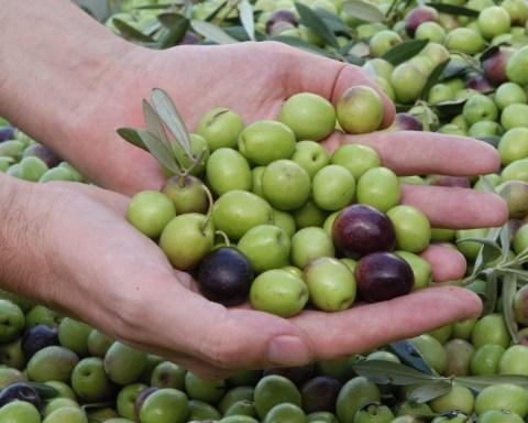 Primeros resultados análisis aceitunas en Olipe aceite ecologico olivalle olivarera los pedroches