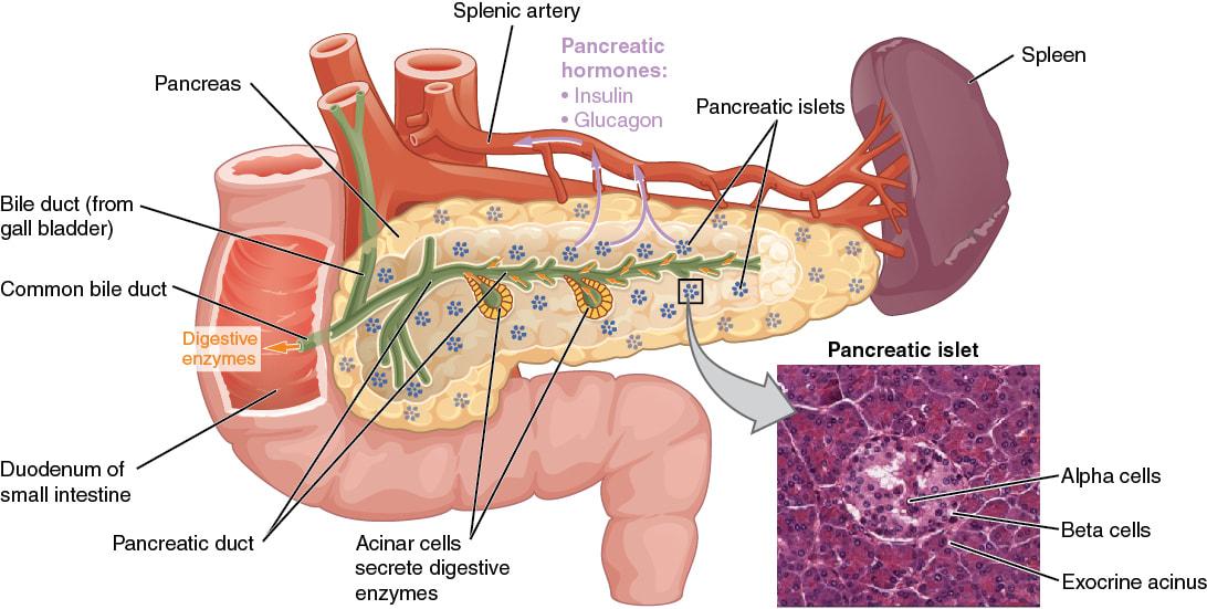 Resultado de imagen para pancreas