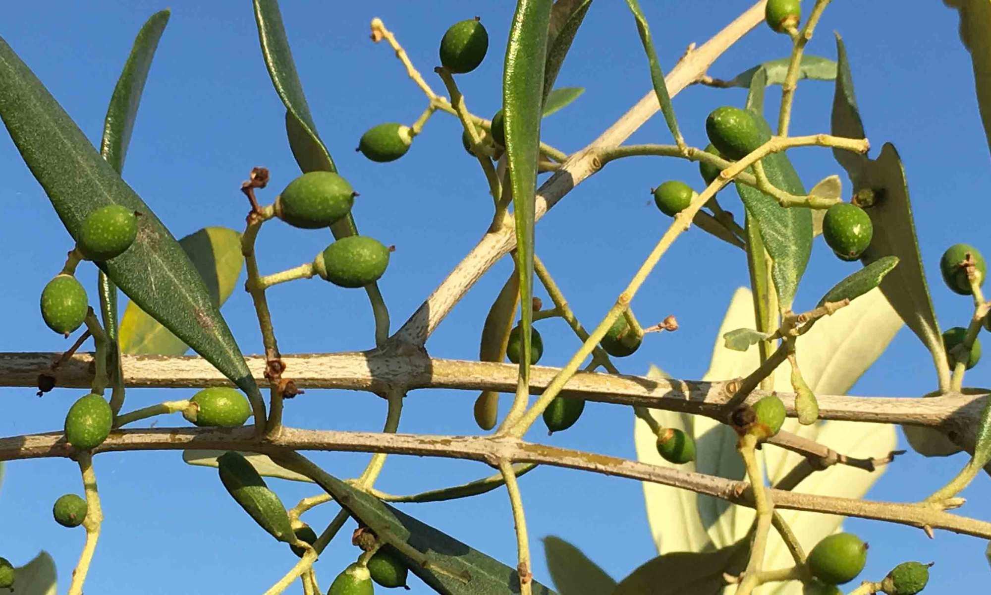 Immagine olive sull'albero