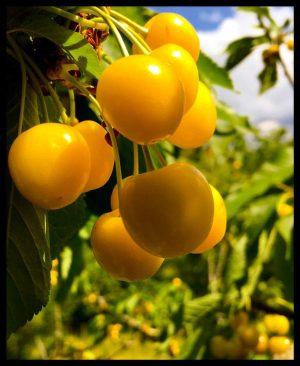 """Foto della ciliegia """"moscatella gialla"""""""