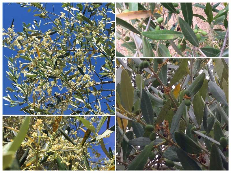 La fioritura e l'allegagione delle olive nel 2017