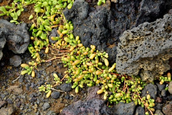 Grass out of lava