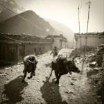 yaks running