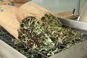 Οι ελιές μεταφέρονται στο ελαιοτριβείο σε υφασμάτινα σακιά ή τελάρα
