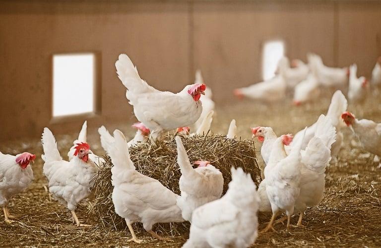 Το ενεργειακό κόστος σκοτώνει και την πτηνοτροφία