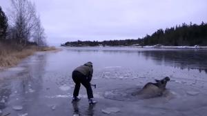esquiador, alce, preso, gelo