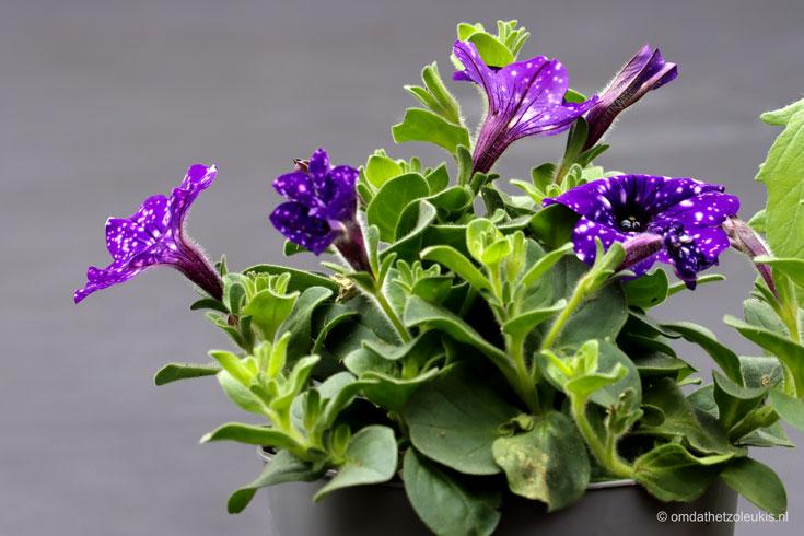 petunia, paarse petunia met witte stippen, cadeau voor moederdag, moederdagcadeau #moederdag #tuinplant #perkplant