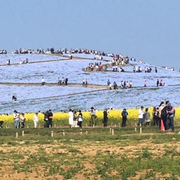 Hitachi Seaside Park yang penuh dengan wisatawan