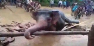 odisha elephant rescue