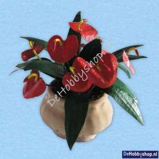 Anthurium Schezerianum