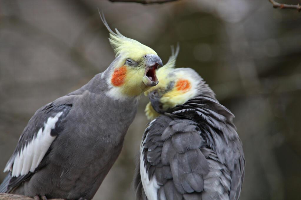 Cockatiel For Sale Parrots Breed Information Omlet