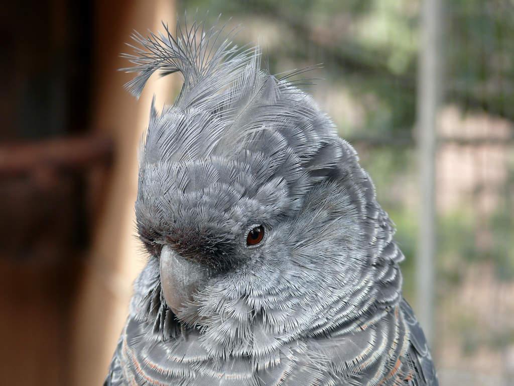 Gang Gang Cockatoo For Sale Parrots Breed Information