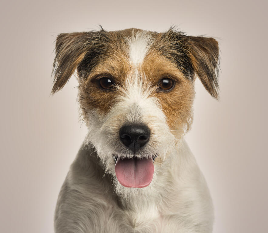 Parson Russell Terrier Chiens Informations Sur Les