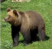 A Eurasian brown bear