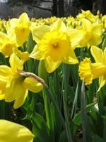 Daffodils / Cennin Pedr / Narcissi