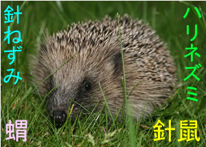Hedgehog (針鼠/針ねずみ/蝟/ハリネズミ)