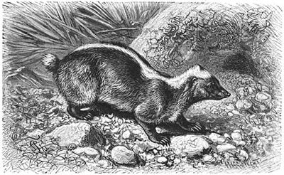 Teledu - the Javanese Stink Badger