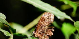 Costa Rica - Liberia - Parc Ricon de la Vieja - Papillon