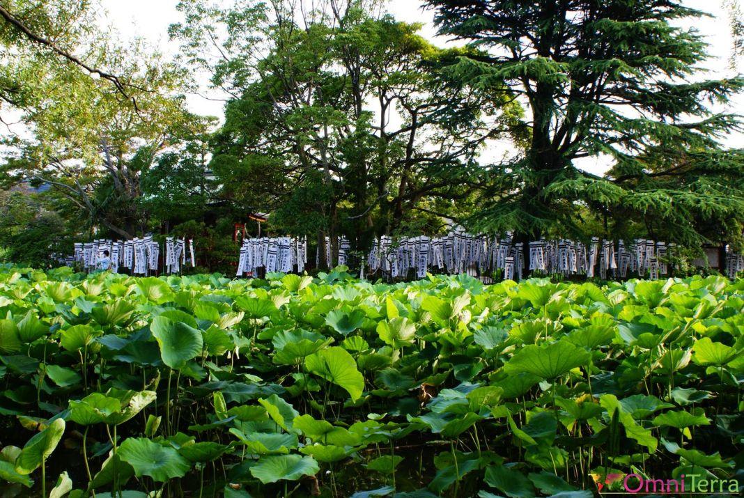 Japon - Kamakura - Sanctuaire Tsurugaoka Hachiman-gu - Nénuphars