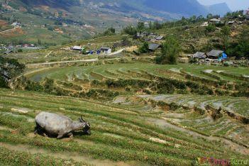 Vietnam - Sapa - Rizière et buffle