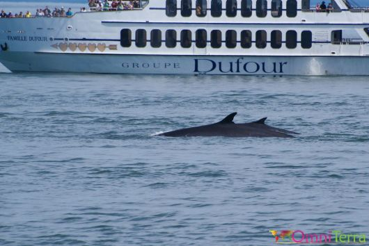 Québec - Observation des baleines - Couple de baleines