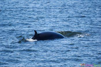 Québec - Observation des baleines -Dos de Baleine