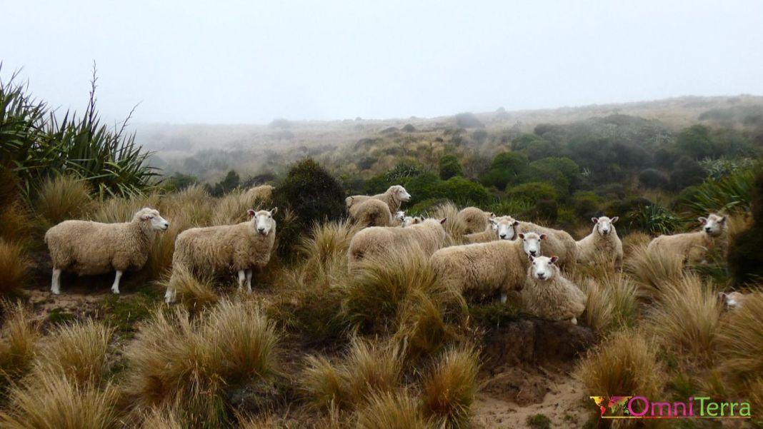 Voyage Nouvelle Zelande - Moutons