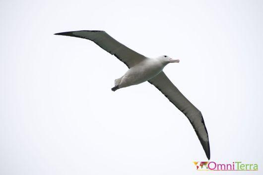 Nouvelle-Zélande - Péninsule Otago -Albatros