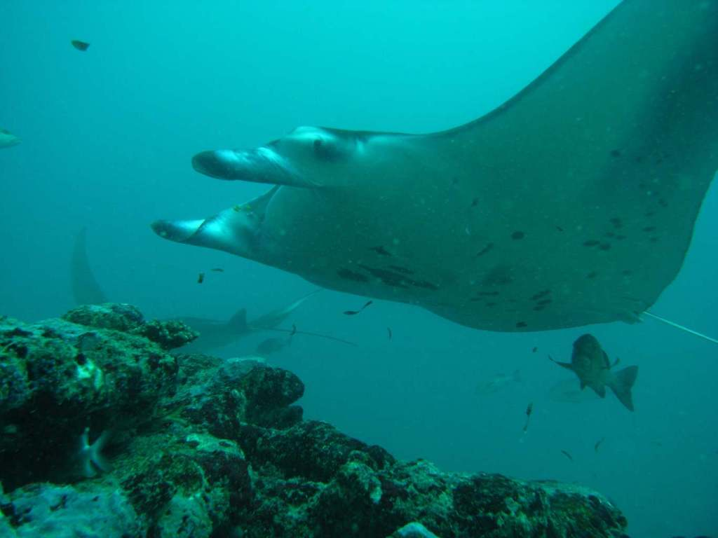 a manta ray passing the reef