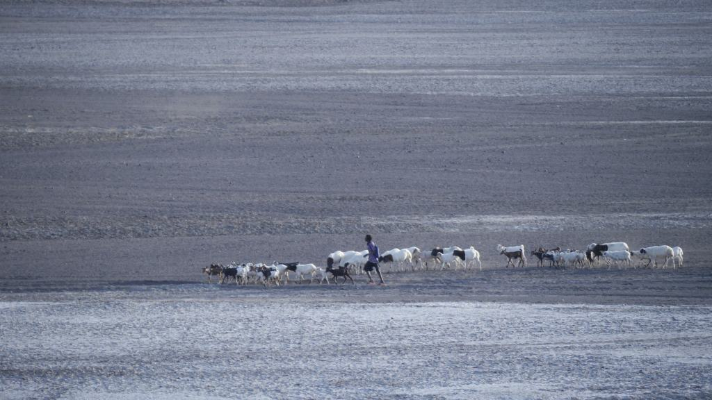 A nomad herding his cattle