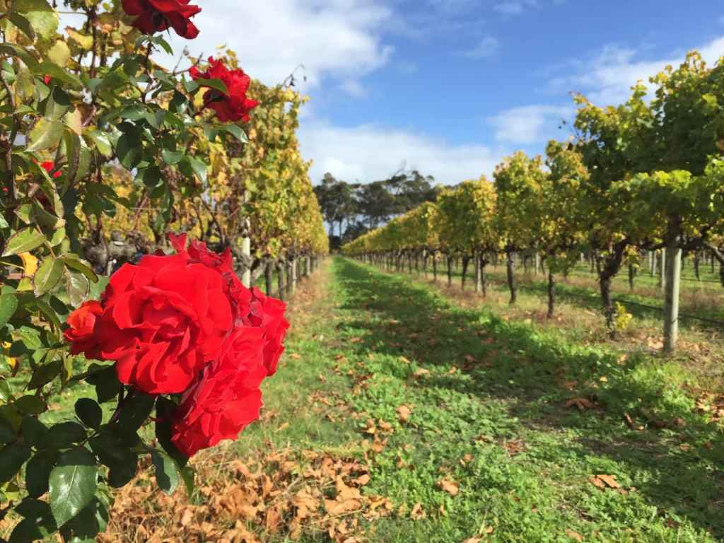 Roses at Voyager one of the wineries of Margaret River