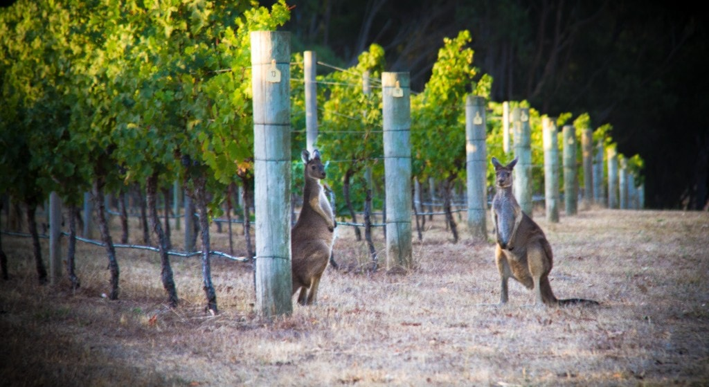 Kangaroo on Cape Mentelle vineyards