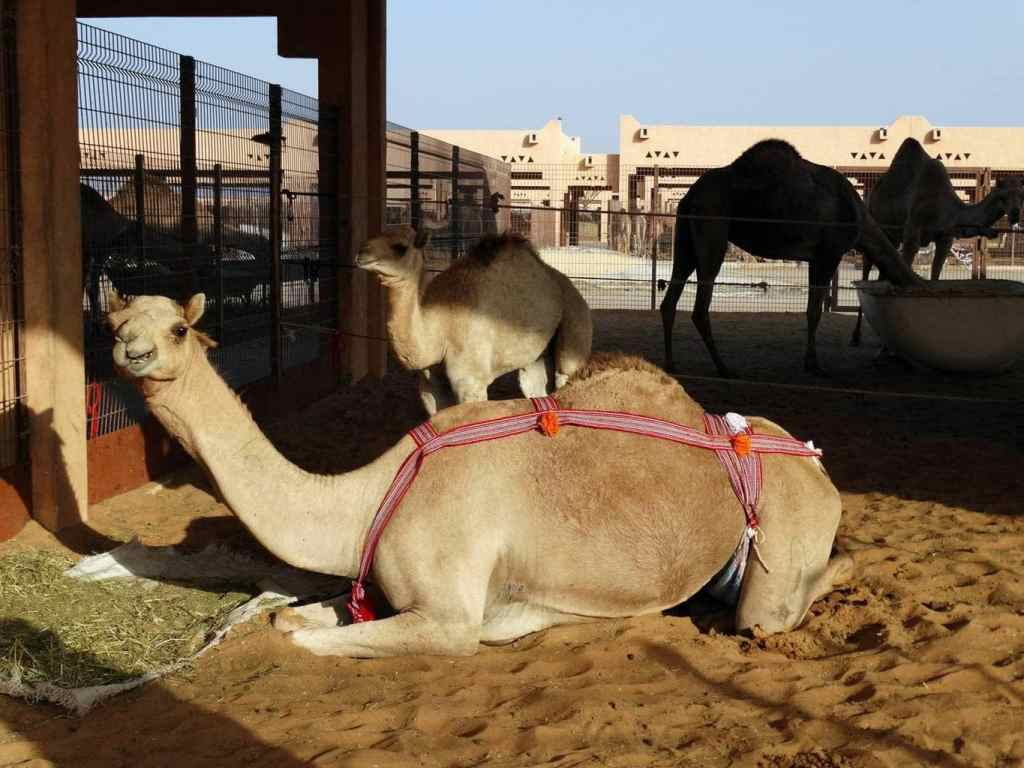 Camels - Iuliana