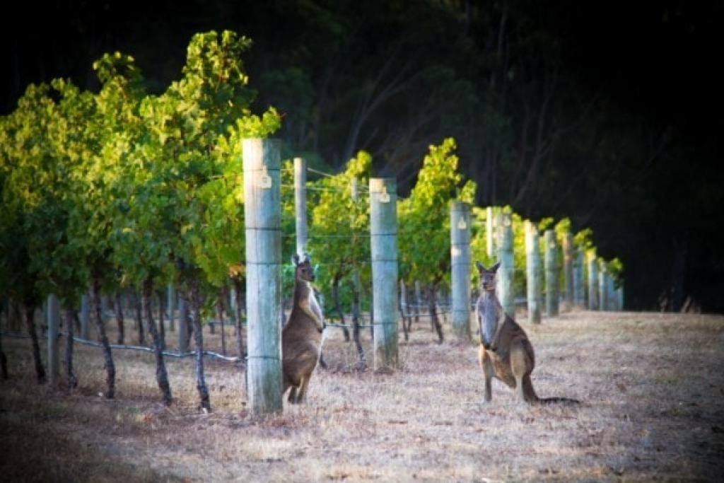 Vineyard kangaroo
