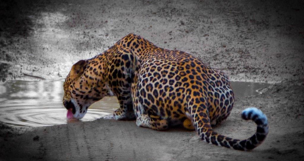 Leopard at Yala National Park in Sri Lanka