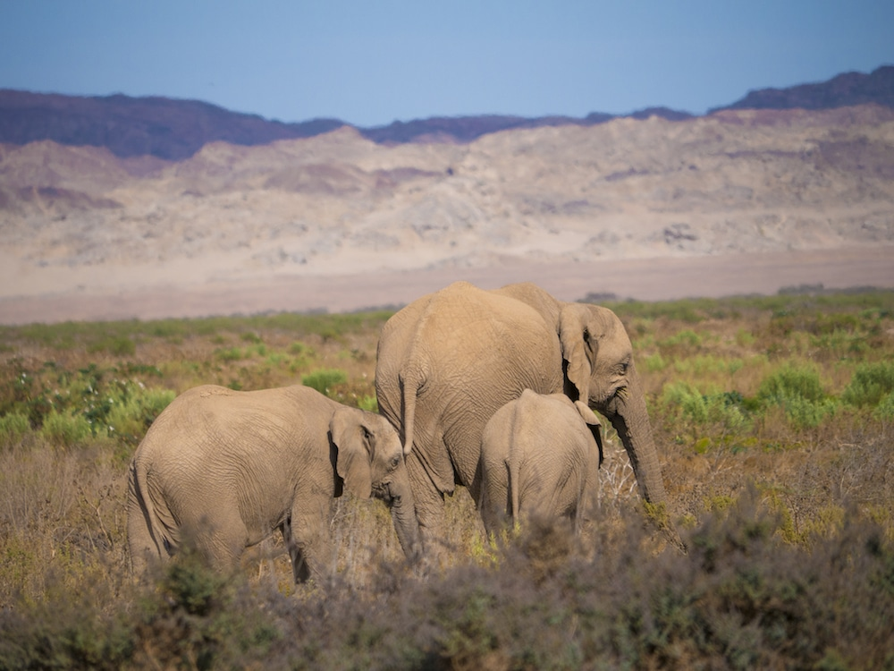 """Desert adapted elephants in Namibia"""
